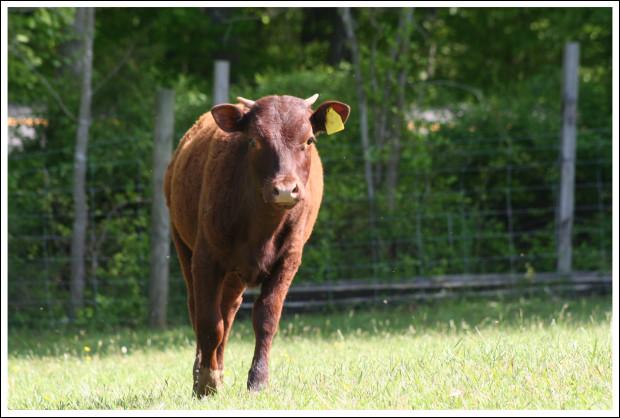 A heifer.