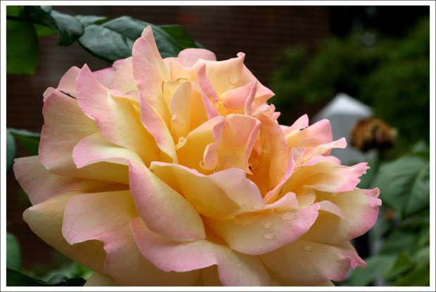 Blushing Rose in Full Bloom