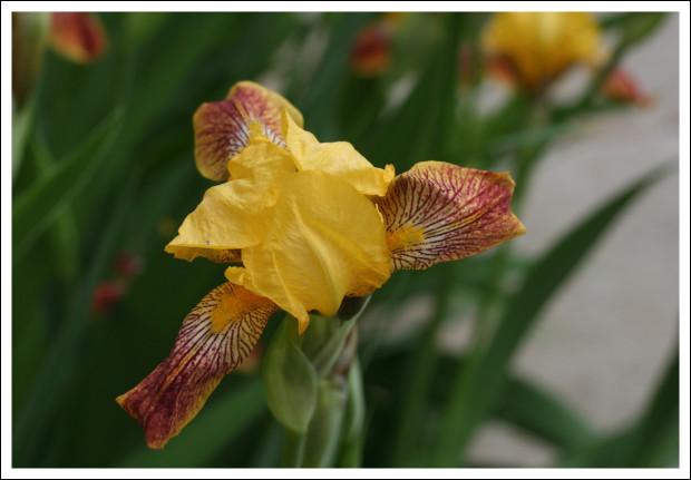 Daffodil-sized Iris