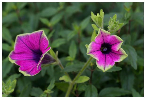 Green Tipped Petunias or Torenias