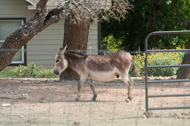 Itty Bitty Burro