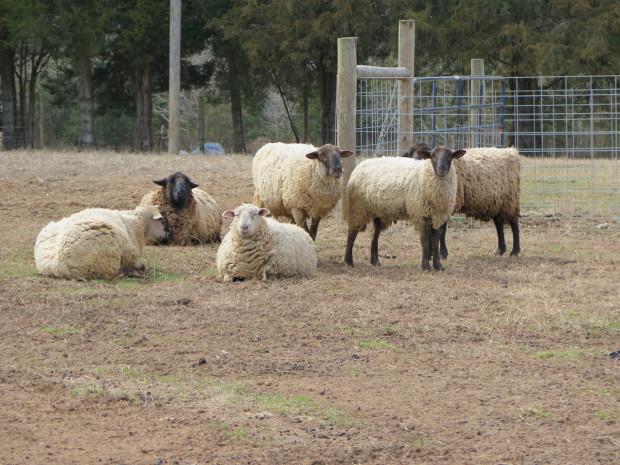 4_sheep