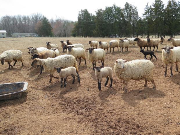 5_sheep