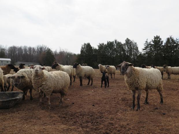 6_sheep