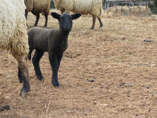 7_sheep