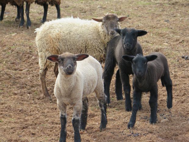 8_sheep