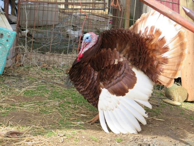 9_tom_turkey