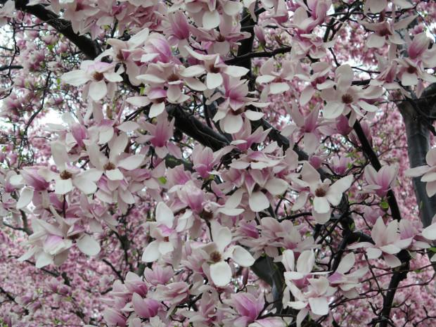 Big-ass Cherry Blossoms