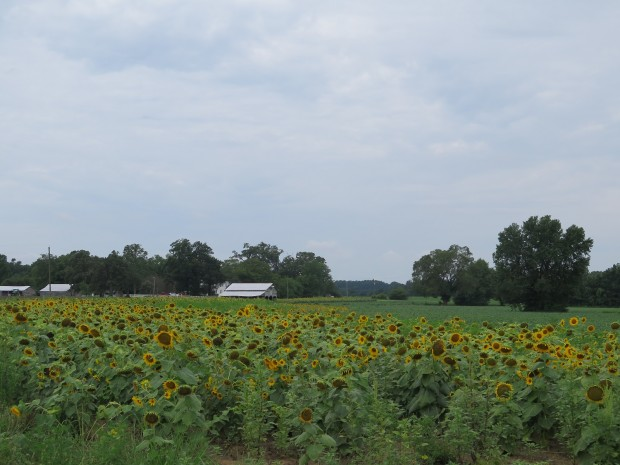 Sunflowers outside of Rocky Mount, NC.
